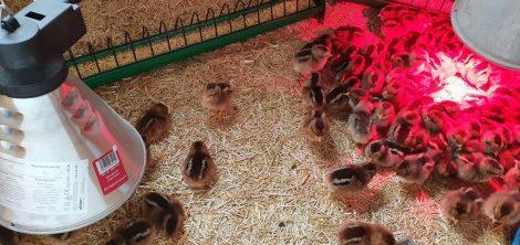 Hühner auf Strohfix Classic